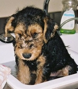 Airedale Puppies on Doug  An Airedale Terrier Puppy At 2 Months Old   Bath Time For Doug