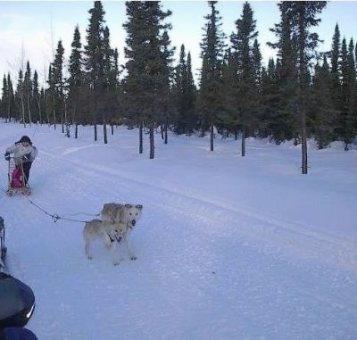 Two Alaskan Huskies pulling a sled on snow with trees in the background