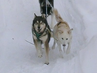 Two Alaskan Huskies are pulling a sled along a snow path