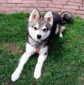 The front right side of a black with white Alaskan Klee Kai that is laying on grass with a brick sidewalk behind it.