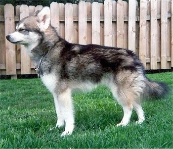 The left side of a white and black with gray Miniature Alaskan Husky with a chain collar on in front of a wooden fence