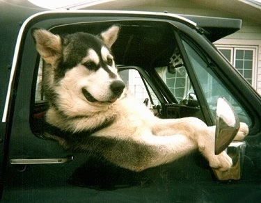 An Alaskan Malamute is sitting in the passenger seat of a truck with its front paws crossed out of the window looking chilled and relaxed.