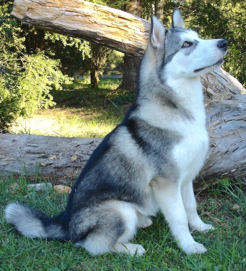 Koda, a 6 month old wolf grey, male Alaskan Malamute weighing 60 pounds (27kgs.)