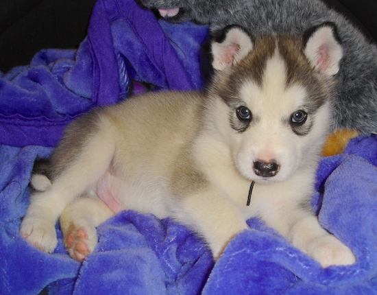 Malamute Puppies on Male Alaskan Malamute Puppy At 6 Weeks Old