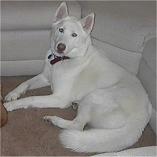 A perk-eared, American White Shepherd/Husky/Malamute mix is laying against the side of the circle area of a white sectional couch.