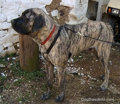 The left side of a brindle American Mastiff that is standing next to a barn and there is a golf cart behind it.