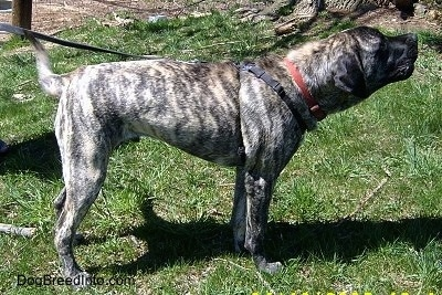 The right side of a brindle American Mastiff that is standing outside in front of a fence. The Mastiff is reaching to the right.