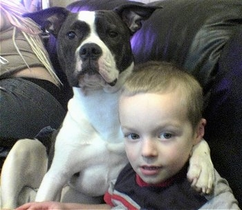 A white with black American Bulldog is sitting on a couch with a child and a lady. The American Bulldog has its paw around the child's shoulder
