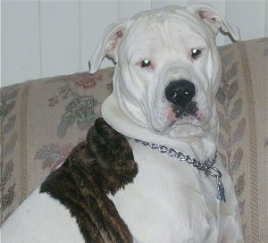 Close up - The right side of a brindle with white American Bulldog taht is sitting on a couch. It is wearing a choke chain collar on.