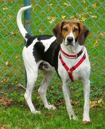 Daiseybug the American Foxhound standing in grass wearing a harness in front of a chainlink fence