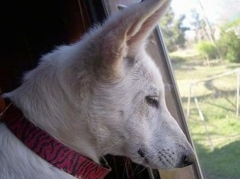 Close Up - The right side of the face of an American White Shepherd Puppy that is looking out of a window