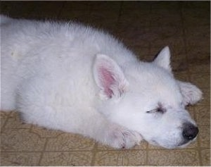 The front right side of a sleeping American White Shepherd puppy. It is laying down across a tiled floor.