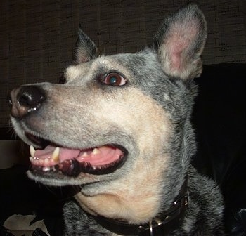 Close up head shot of a grey with tan ticked Australian Cattle Dog. It is looking up and to the left. Its mouth is open.