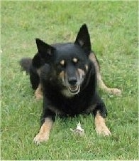 A black with tan Australian Kelpie is laying in grass with its mouth open and it is looking forward.