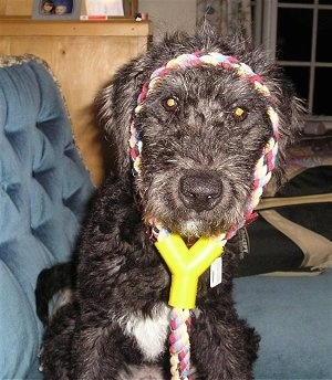 Close Up - Odie the Bedlington Terrier sitting on a couch with a rope toy around his head