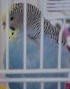 A White with black striped Parakeet is standing on a bar inside of a cage and it is looking down and to the left.