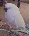 A white Cockatoo is standing on the back of a cage and it is looking to the left.