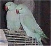 Two Indian Ringneck birds are standing on a cage and they are looking to theleft.