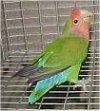 A green with black, red and blue Lovebird is standing on the side of a cage looking up.