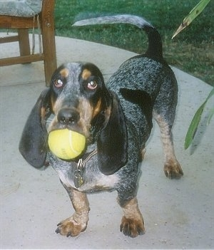 Greta the Basset Bleu de Gascogne with a tennis ball in her mouth