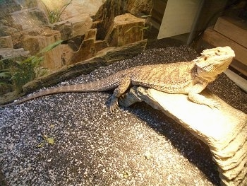 Killer, the adult Bearded Dragon