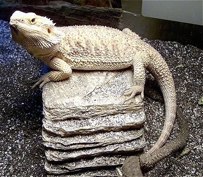 Killer, the full grown bearded dragon