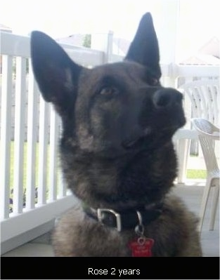 Rose the Belgian Malinois sitting on a porch with looking up with the words 'Rose 2 years' overlayed