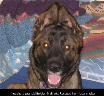 Keesha the Belgian Malinois laying on a bed with the words 'Keesha 1 year old Belgian Malinois. Rescued from local shelter'