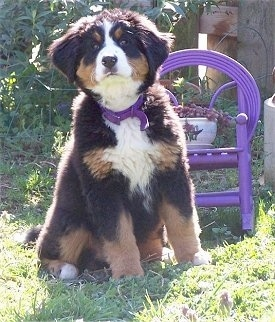 Shasta the Bernese Mountain Dog Puppy sitting in front of a chair with a flower on it