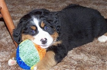 Shasta, a purebred Berner at 8 weeks old