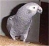 An African Grey Parrot is standing on the back of a couch and its head is turned to the right.