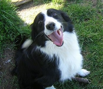 Pictures of Dogs Border Collie