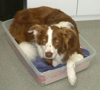 Jade the Red and White Border Collie laying in a clear plastic bin