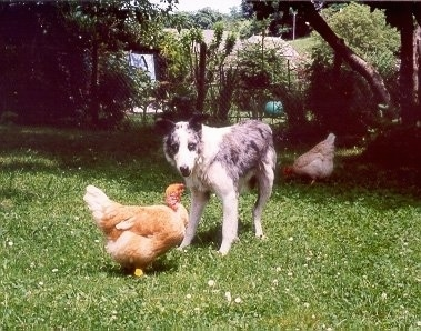 Jilly the Border Collie standing in between two chickens