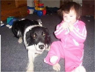 Zola the Border Collie laying next to a sitting baby with toys in the background