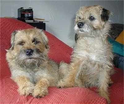 Vera the Border Terrier laying in a beanbag chair next to Graham the Border Terrier