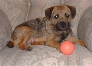 Meg the Border Terrier with her ball