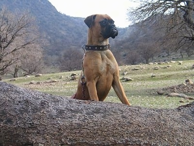 Jessica the Boxer jumped up with her front paws on a log and looking into the distance with grass, rocks, trees and a mountain in the background
