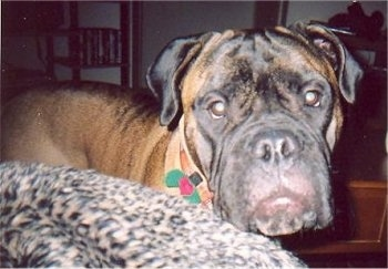 Close Up - Max the Bullmastiff standing next to a leopard print blanket