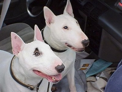 Two Bull Terriers sitting in the front seat of a vehicle