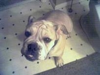 English Bulldog sitting on a tiled bathroom floor next to a white toilet and looking up at the camera holder