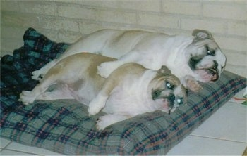Two tan with white English Bulldogs are cuddling next to each other on there sides on a blue and gray pillow dog bed.