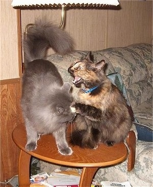 Missy and Bear the cat fighting on a wooden coffee table in front of a couch