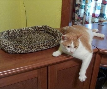 Byte the cat is laying next to a leopard print cat bed with its paw hanging over the edge of the wooden dresser