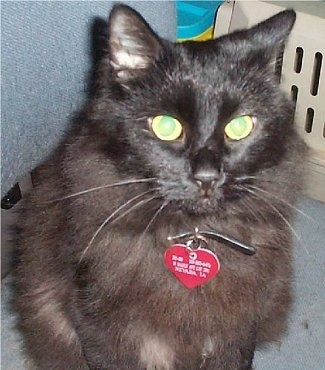 BoBo the black Chantilly Tiffany cat is wearing a red heart shaped tag sitting on a chair in in a mans lap next to a cat carrier