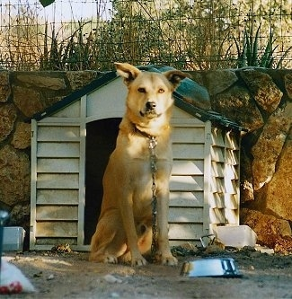 Ishta the tan Canaan dog is chained up sitting in front of a dog house which is in front of a stone wall. There's a dog food bowl in front of him.