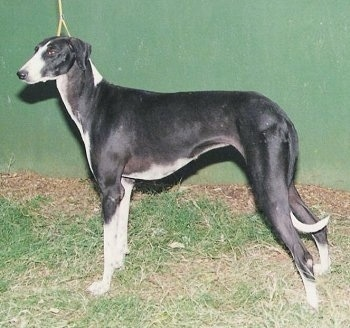 Left Profile - Caravan Hound posing in front of a large green wall