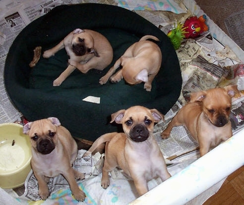 Five Carlin Pinscher puppies are in a pen on top of a bunch of newspapers in a whelping area with a dog bed in the middle