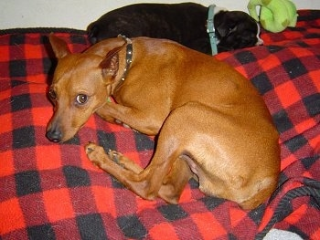 And here is the father, our red Miniature Pinscher Aries