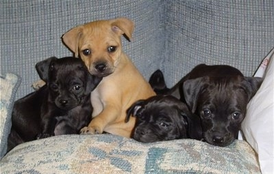 A litter of 4 puppies on a blue couch on top of a tan pillow - The first puppy is black and it is laying down, the second is tan and it is sitting and the last two are black puppies both laying down.